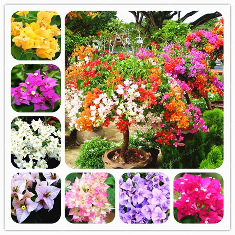 100 Pcs/Bag Bougainvillea plant Perennial Flower plant Colorful Bougainvillea Spectabilis Willd plant Garden Bonsai Pot Plant