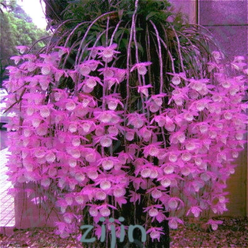 100Pcs / Bag Multi Color Dendrobium Orchids Bonsai Tree Very Easy Grow Home & Garden Building Flower For Sale