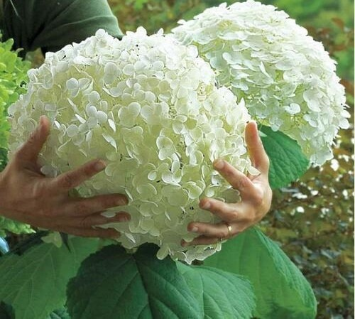 5Pcs Hydrangea bonsai plants, indoor flowers, potted plants, all kinds of colors, easy to plant gardening decoration.