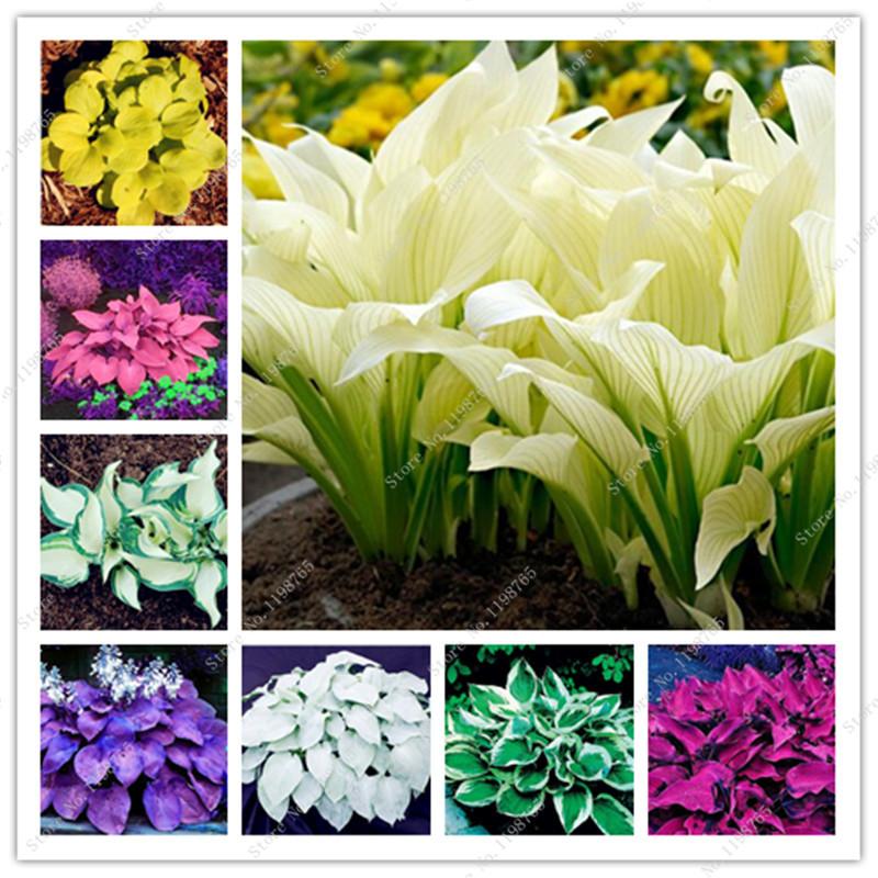 Bonsai 100 Pcs Mixed Hosta Bonsai Jardin Perennials Lily Flower Pot Bonsai White Lace Diy Home Garden Ground Cover Garden Plant
