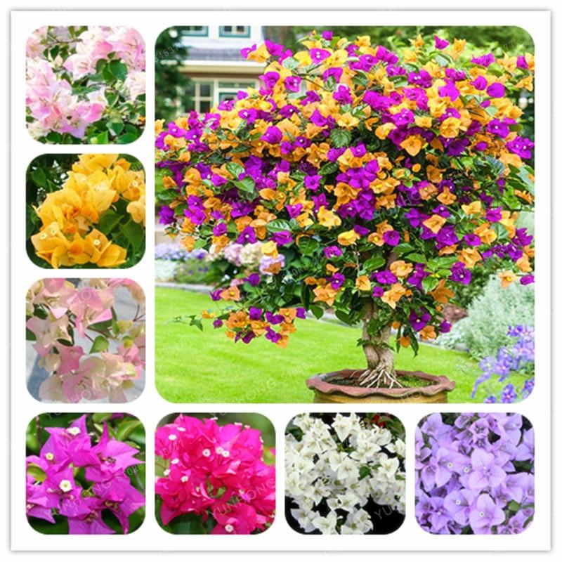 Bougainvillea bonsai Colorful Bougainvillea Spectabilis Willd plant Perennial Flower plant Garden Bonsai Pot Plant 100 Pcs/Bag